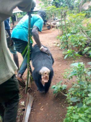 Wild Gorilla Follows Farmer Back To His House In Cross River State [Photos]